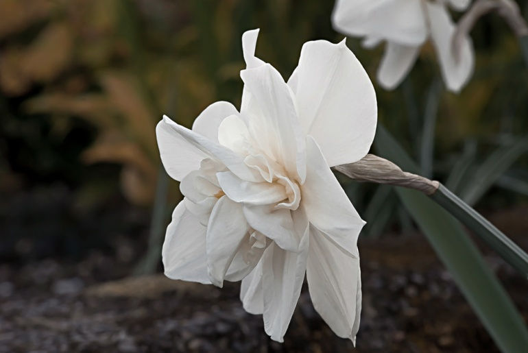 2 Quote A Flower Daily - White Daffodil 02