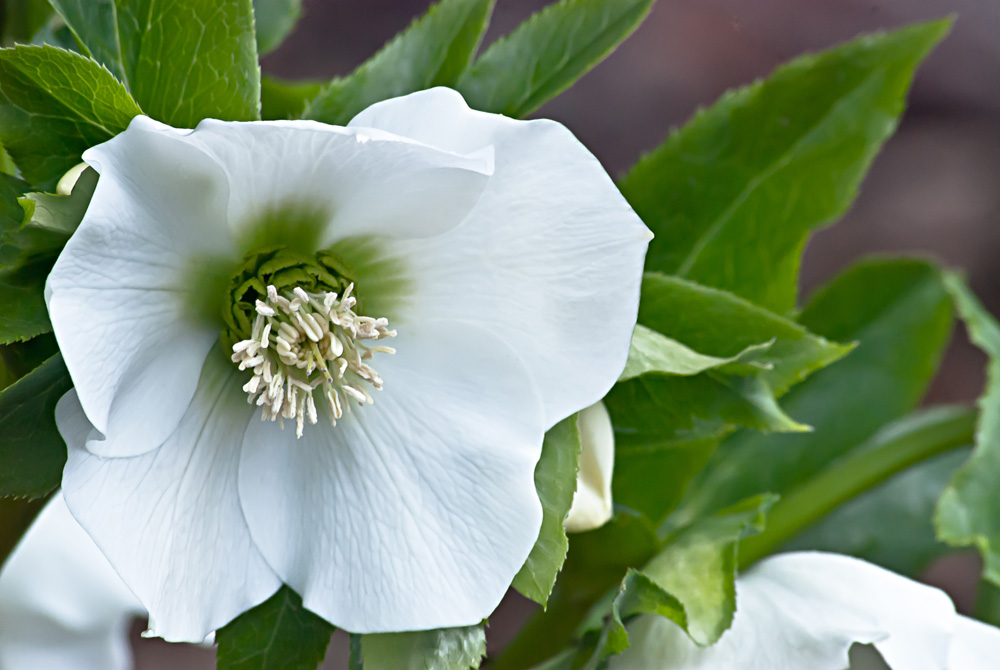 2 Quote A Flower - White Hellebore