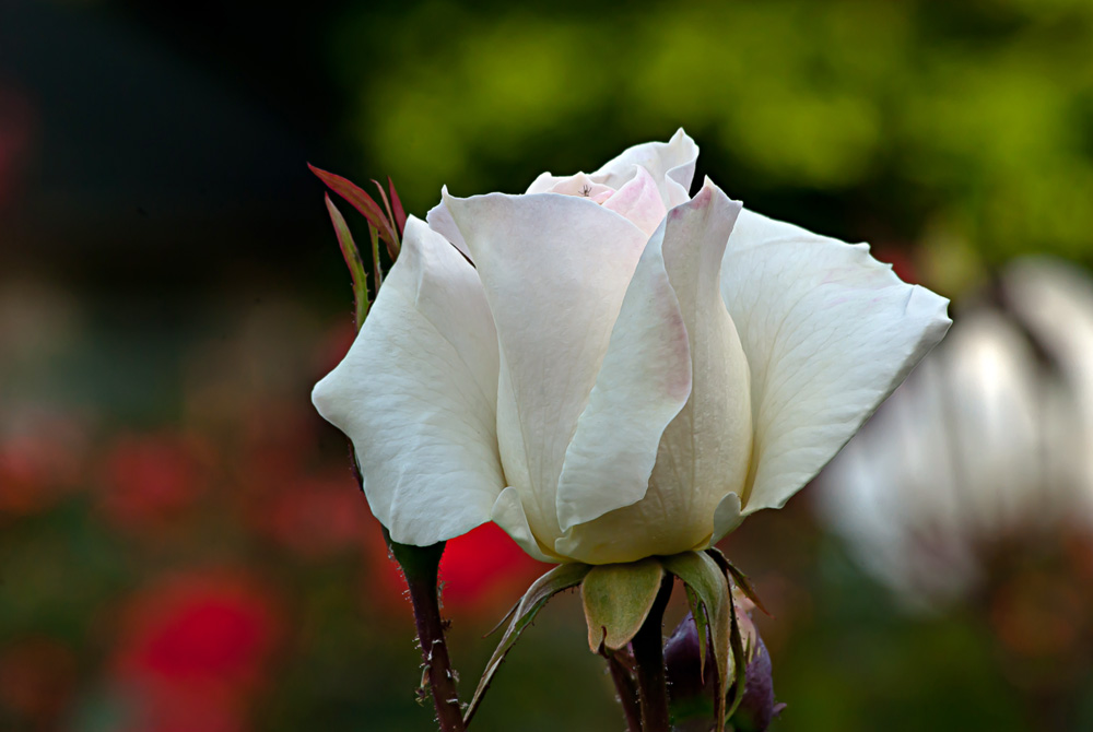2 Quote A Flower Daily - White Simplicity Rose Bud