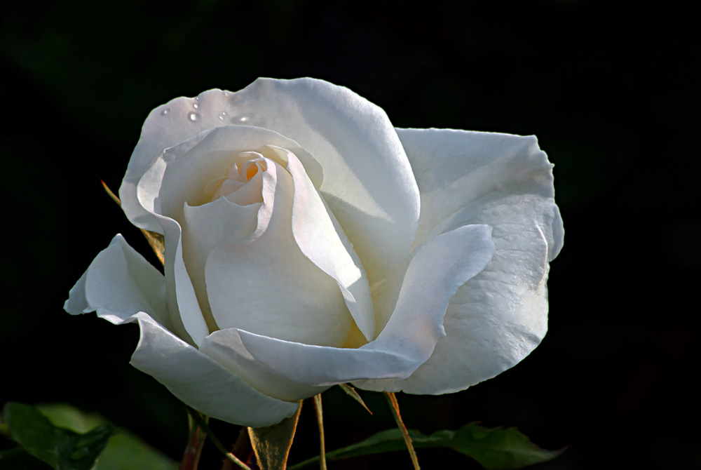 2 Quote A Flower Daily - White Simplicity Rose 02