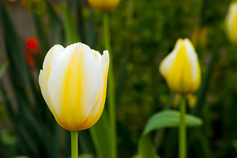 2 Quote A Flower Daily - Tulip Yellow and White