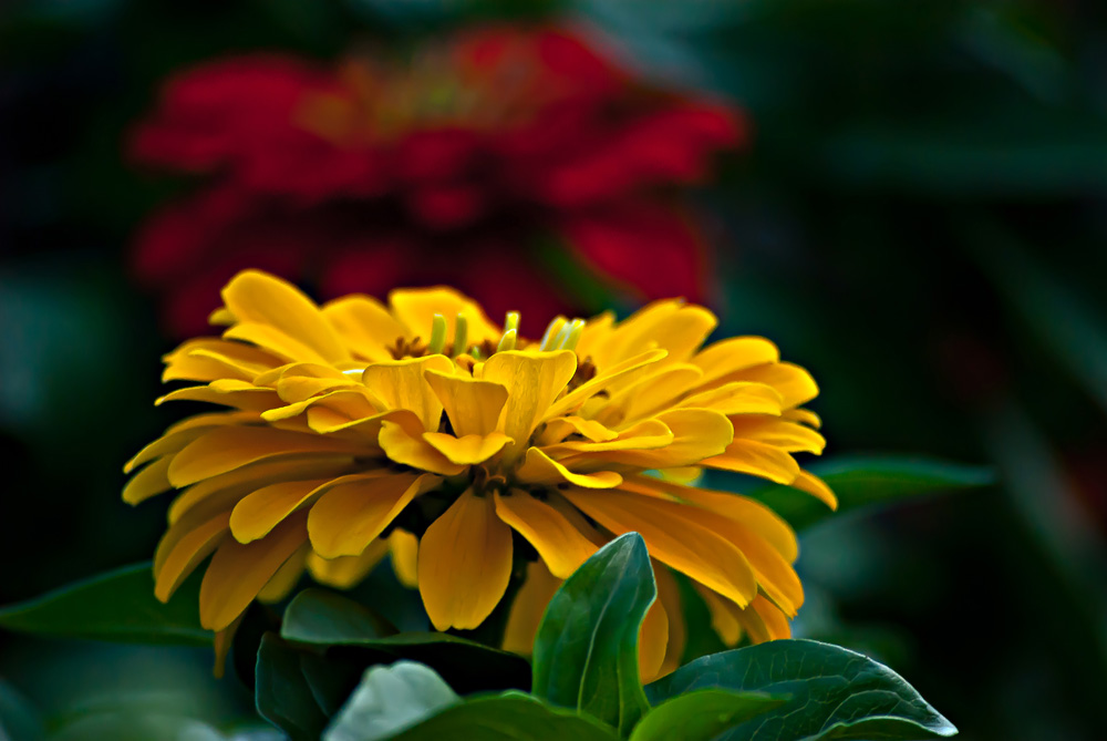 2 Quote A Flower Daily - Yellow Zinnia 02