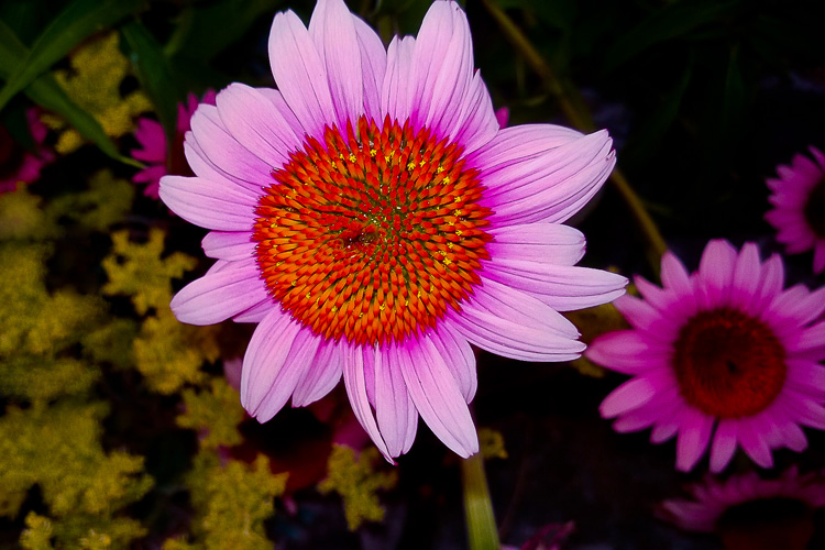 2 Quote A Flower Daily - Above Echinacea