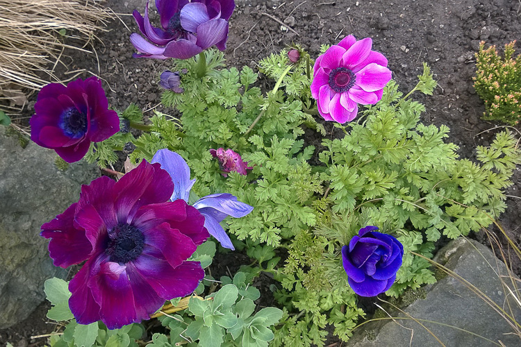 2 Quote A Flower Daily - Anemones
