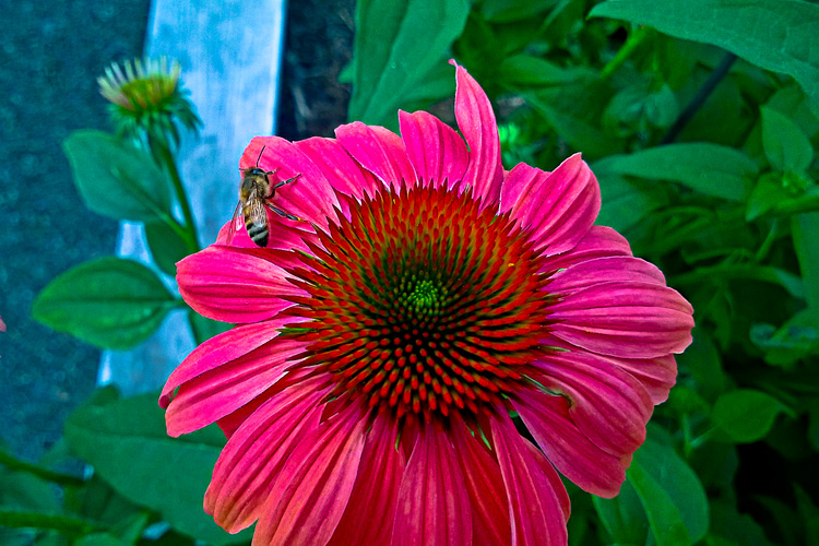 2 Quote A Flower Daily - Bee on Cone Flower 01