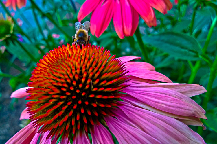 2 Quote A Flower Daily - Bee on Cone Flower 02