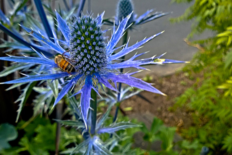 2 Quote A Bee - Bee on Sea Holly 01
