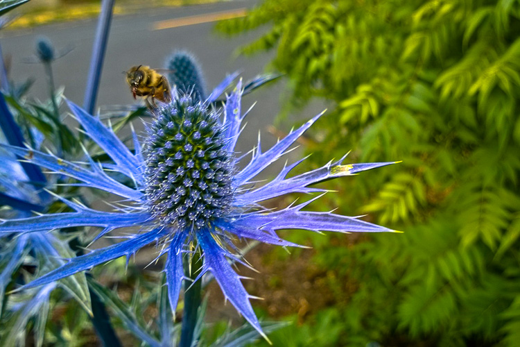 2 Quote A Flower Daily - Bee on Sea Holly 05