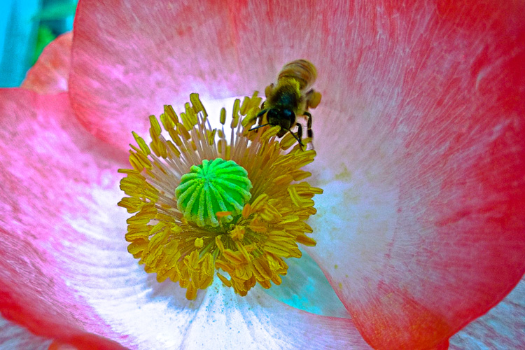 2 Quote A Flower Daily - Bee Poppy