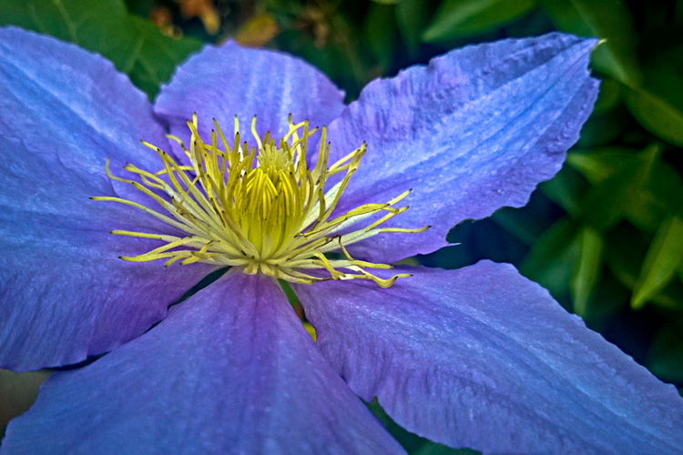 2 Quote A Flower Daily - Blue Clematis