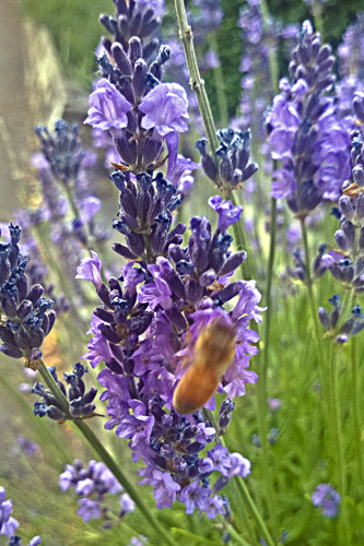 2 Quote A Bee - Blurry Bee on Lavender