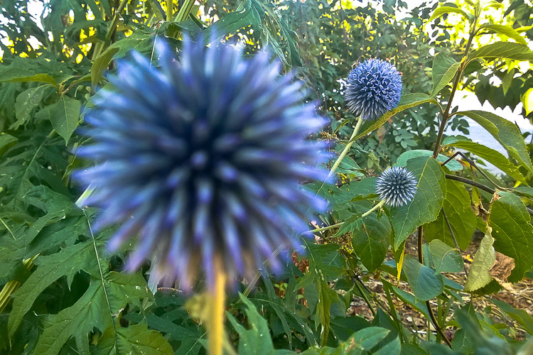 2 Quote A Flower Daily - Blurry Globe Thistle