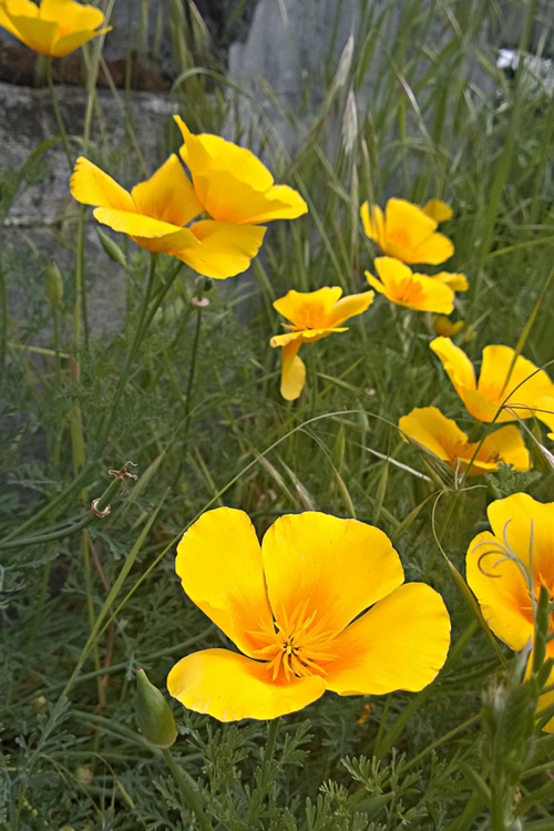 2 Quote A Flower Daily - California Poppies 01