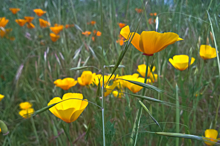 2 Quote A Flower Daily - California Poppy Field 01