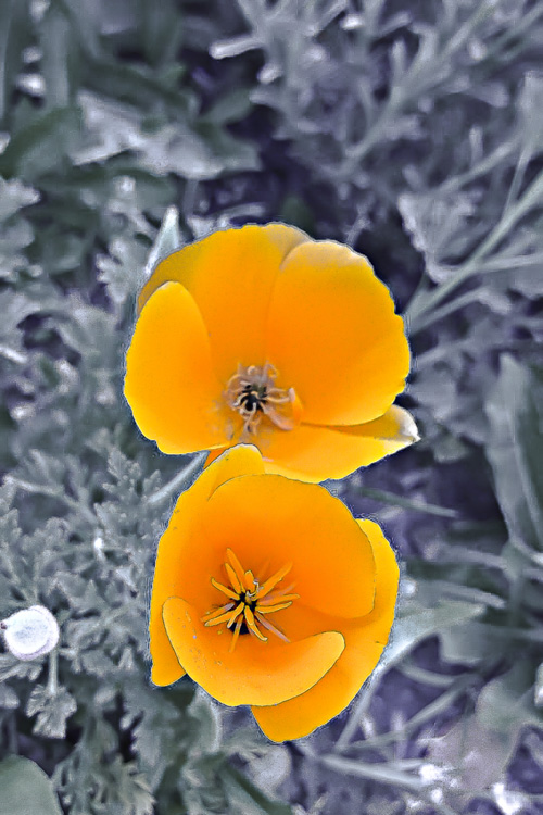 2 Quote A Flower Daily - California Poppy Pair 01