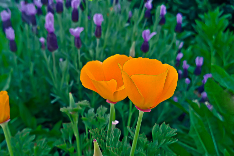 2 Quote A Flower Daily - California Poppy Pair 02