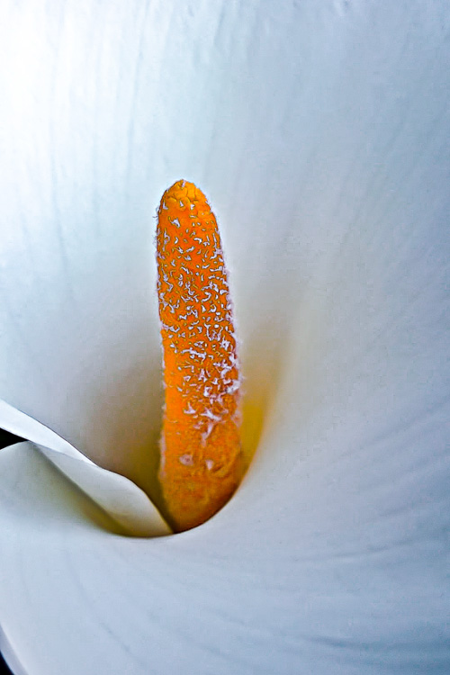2 Quote A Flower Daily - Calla Lily Pistil