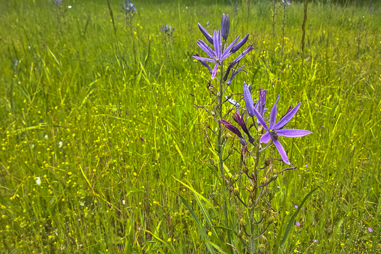 2 Quote A Flower Daily - Camas Flower Field 01
