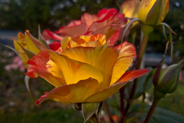 2 Quote A Flower Daily - Chihuly Rose Profile