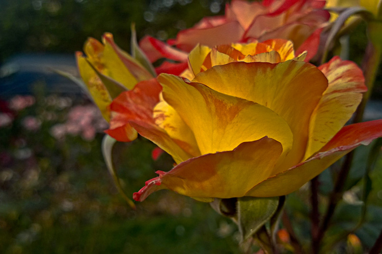 2 Quote A Flower Daily - Chihuly Yellow Rose
