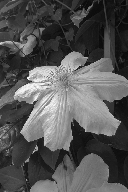 2 Quote A Flower Daily - Clematis Black and White