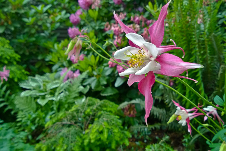 2 Quote A Flower Daily - Columbine Red and White