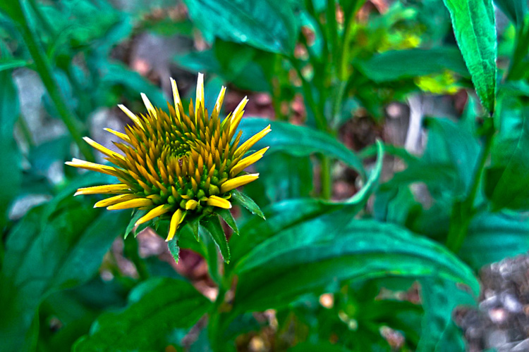 2 Quote A Flower Daily - Cone Flower Bud 01