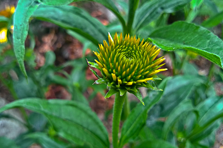 2 Quote A Flower Daily - Cone Flower Bud 02
