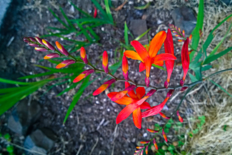 2 Quote A Flower Daily - Crocosmia Design