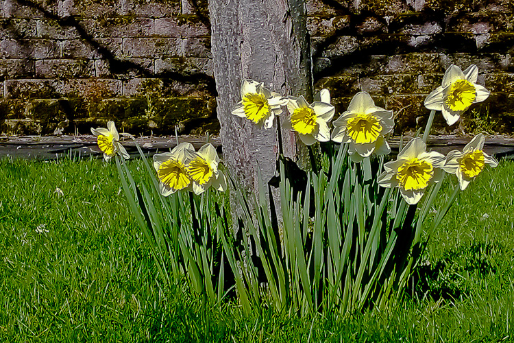 2 Quote A Flower Daily - Daffodil Tree