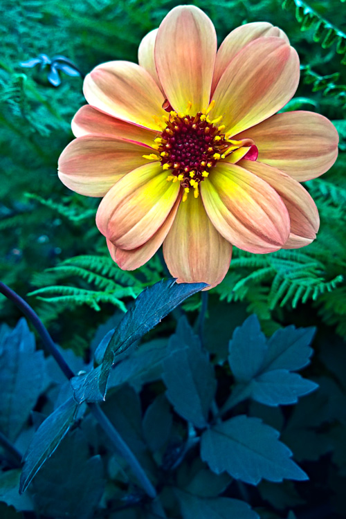 2 Quote A Flower Daily - Dahlia Dream 02