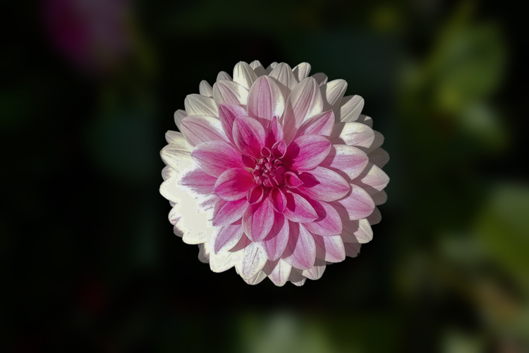 2 Quote A Flower Daily - Dahlia Sunshine
