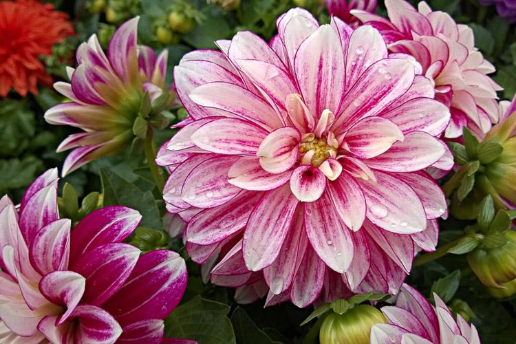 2 Quote A Flower Daily - Dahlinova Hypnotica