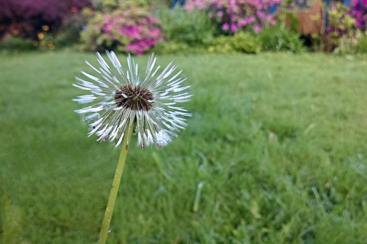 2 Quote A Flower Daily - Dandelion Seeds