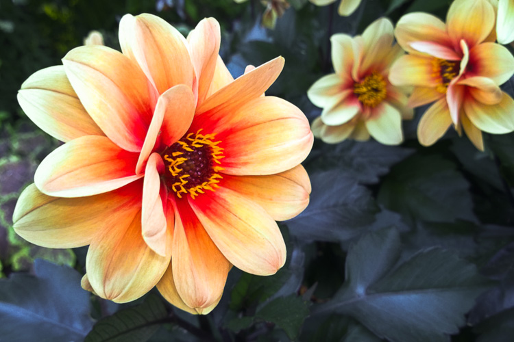 2 Quote A Flower Daily - Dreamy Eyes Dahlias