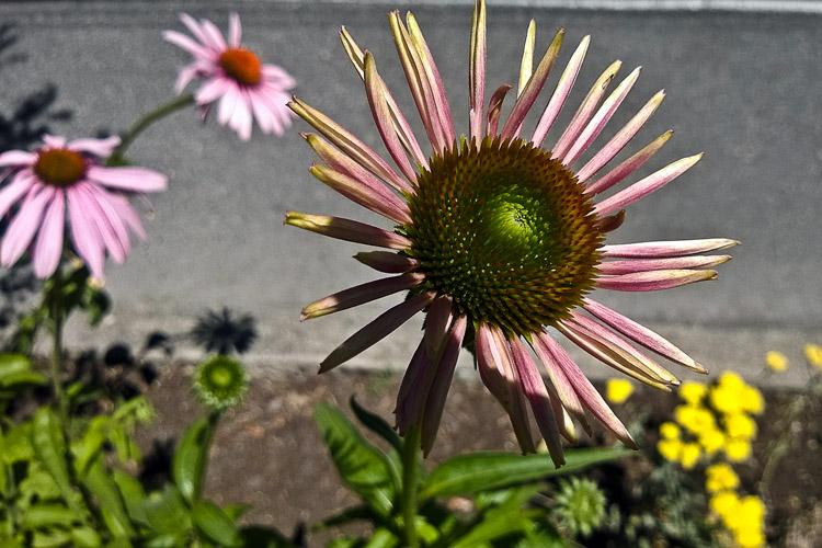 2 Quote A Flower Daily - Echinacea Purpurea Bud