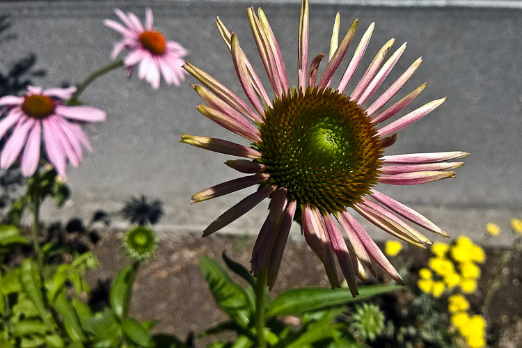 2 Quote A Flower Daily - Echinacea Purpurea Bud