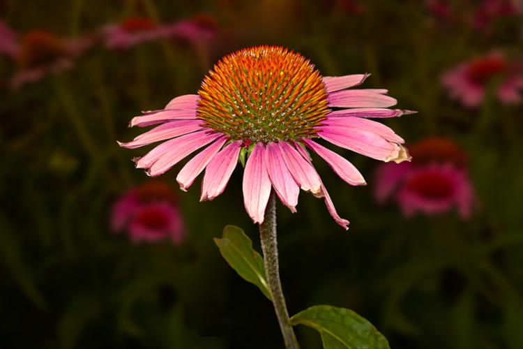 2 Quote A Flower Daily - Echinacea Purpurea Profile