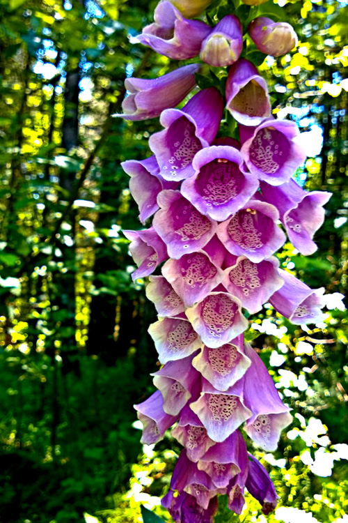 2 Quote A Flower Daily - Foxglove in the Forest 02