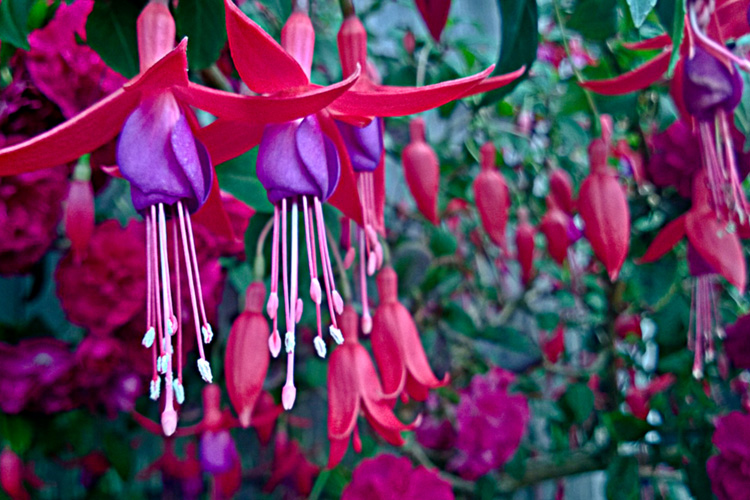 2 Quote A Flower Daily - Fuchsia Buds