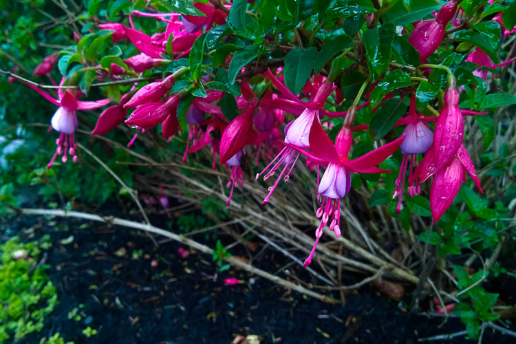 2 Quote A Flower Daily - Fuchsia Flowers
