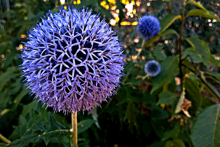 2 Quote A Flower Daily - Globe Thistle 01
