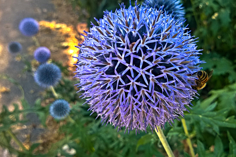 2 Quote A Flower Daily - Globe Thistle 02