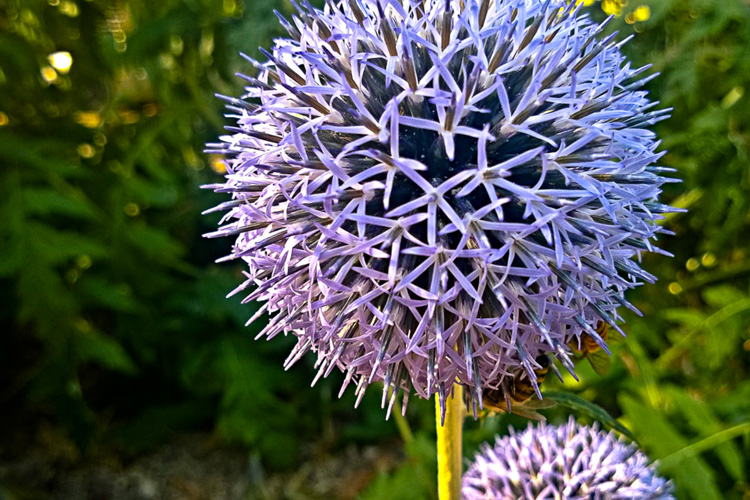 2 Quote A Flower Daily - Globe Thistle 04