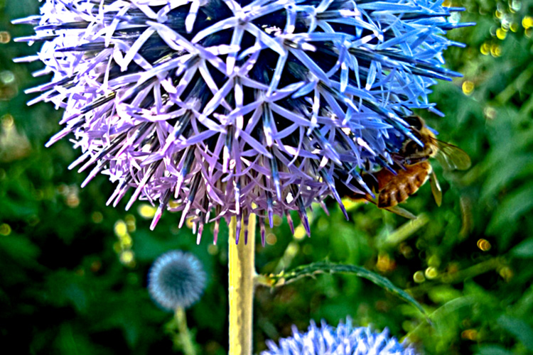 2 Quote A Flower Daily - Globe Thistle with Bee 01