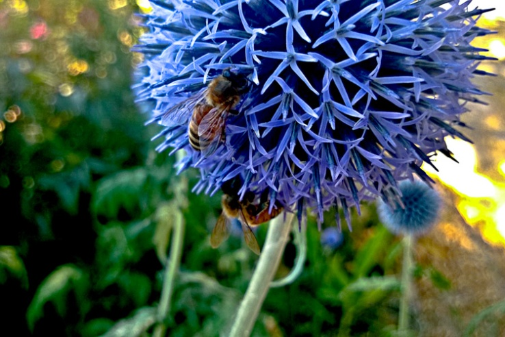 2 Quote A Flower Daily - Globe Thistle with Bee 02