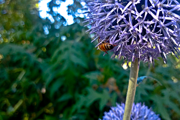 2 Quote A Bee - Globe Thistle with Bee 04