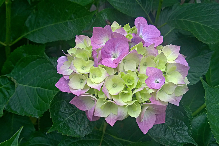 2 Quote A Flower Daily - Hydrangea