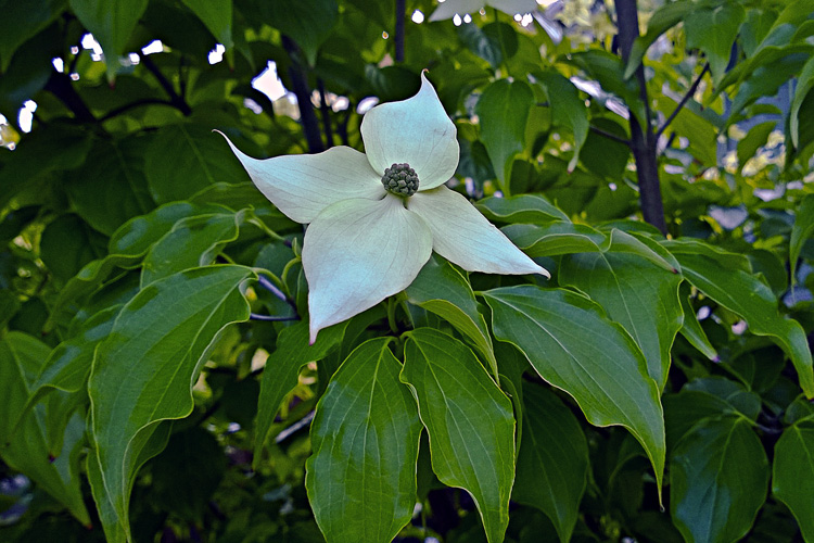 2 Quote A Flower Daily - Korean Dogwood 02