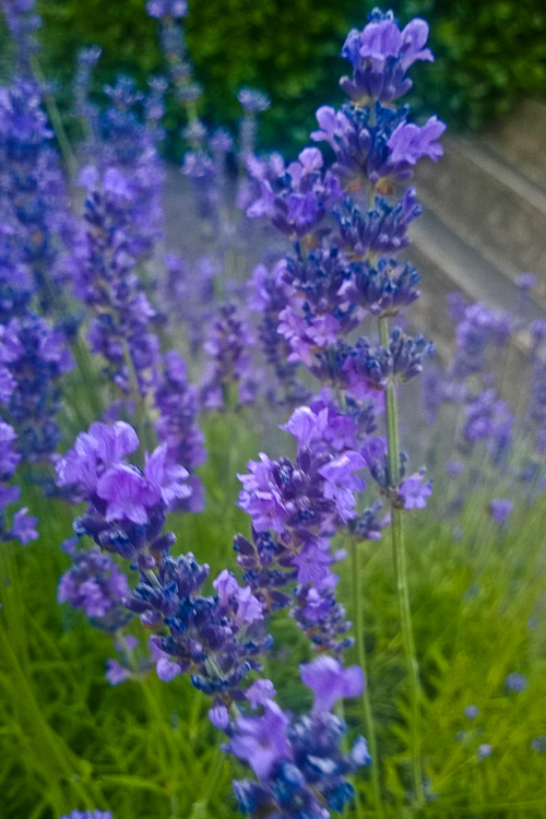 2 Quote A Flower Daily - Lavender-2